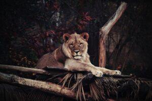 Lew - przykład ssaka